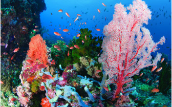 Picture of Colourful coral in Indonesia