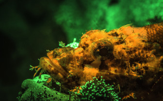Picture of close up of Scorpionfish