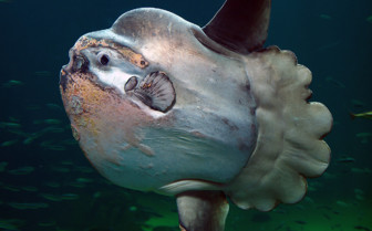 Picture of Mola mola Indonesia