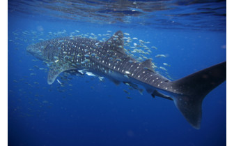 Picture of whale sharks in Australia