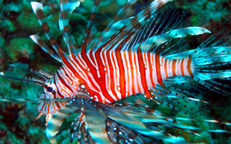 Picture of lionfish in the Maldives