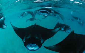 Picture of mantas in the Maldives