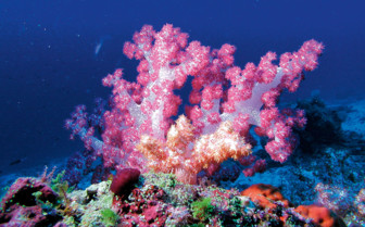 Picture of a soft coral in the Maldives