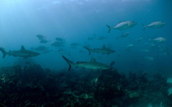 Picture of Sharks at Ningaloo Reef