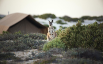 Picture of Wallaroo at Ningaloo Reef