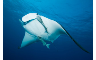 Picture of Mantas at Ningaloo Reef