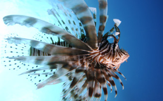 Picture of Lion fish on Great Barrier Reef