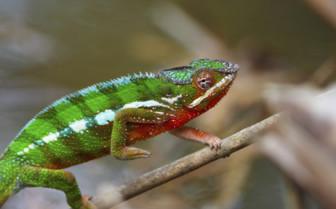 Climbing chameleon