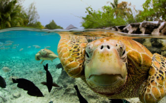 Picture of Green sea turtles in Bora Bora