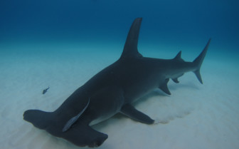 Picture of Hammerhead shark at Rangiroa