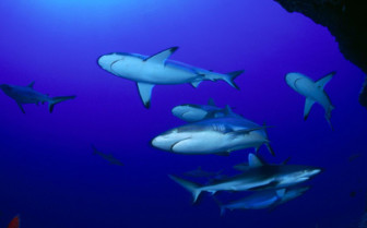 Picture of Rangiroa grey reef sharks