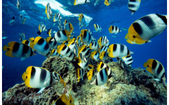 Picture of Butterfly Fish in Tikehau