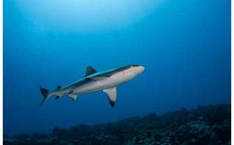 Picture of Shark in Tikehau