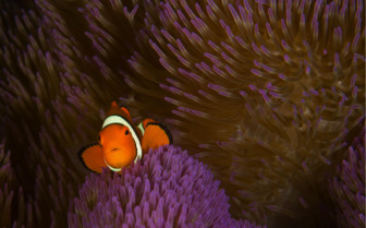 Picture of Clown Fish at Milne Bay
