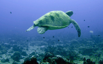 Picture of turtle swimming in the Northern Atolls