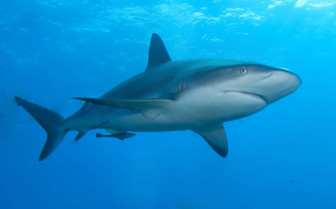 Picture of Caribbean reef shark Cayman Islands