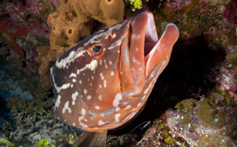 Picture of Grouper fish at Cayman Islands