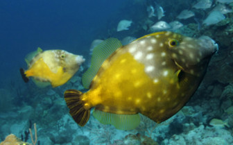 Picture of Triggerfish Bahamas