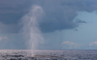 Picture of blue whale Azores