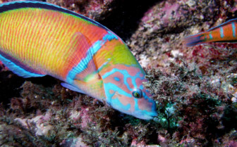 Picture of colourful fish Azores
