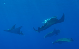 Picture of school of rays Azores
