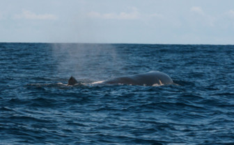 Picture of Sperm whale Azores