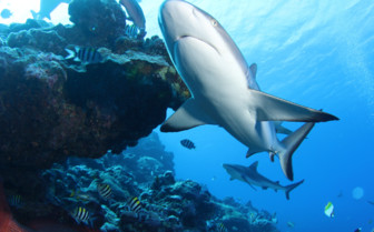 Picture of blacktip shark Yap