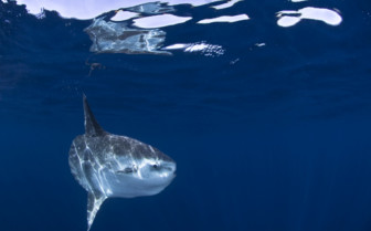 Picture of Mola Mola swimming in Bali