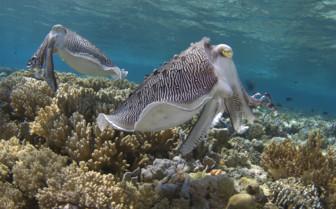 Picture of Cuttlefish at Wakatobi