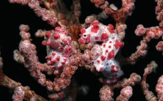 Picture of Pygmy Seahorse at Wakatobi