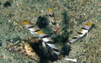 Picture of Gobies and Shrimp Wakatobi