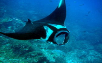 Picture of Mantaray Similan Islands