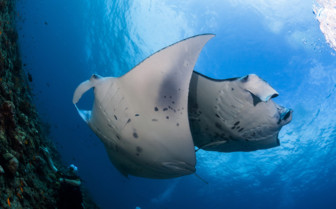 Picture of Mantas Rays Mozambique