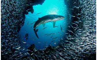 Picture of a tarpon in Little Cayman