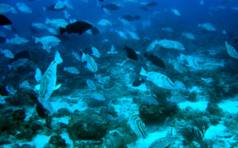 Picture of Nassau groupers in Little Cayman