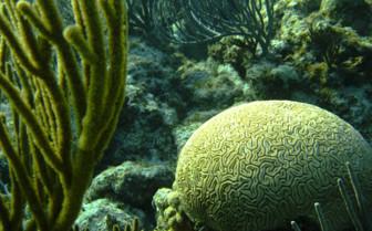 Picutre of brain coral Grand Bahama