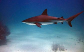 Picture of Bull shark Grand Bahama