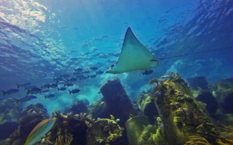 Picture of Ray and fish Grand Bahama Island