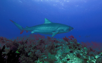 Picture of Tiger shark on reef Grand Bahama Island
