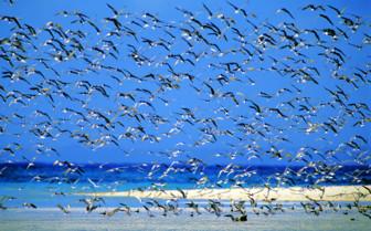 Picture of Bird flock Mnemba Island