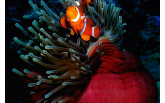 Picture of Clown fish and anemone