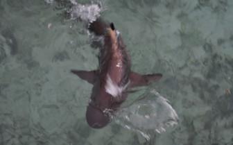 Picture of Blacktip Shark in Raja Ampat