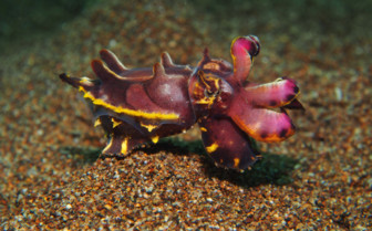 Picture of flamboyant cuttlefish Philippines