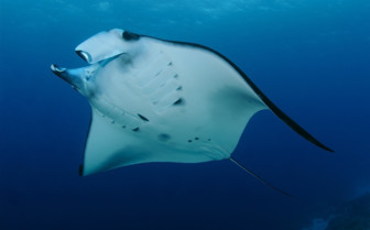 Picture of manta ray at Tubbataha reef