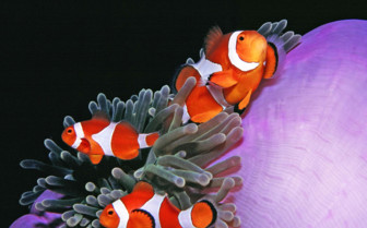 Picture of clownfish Tubbataha reef