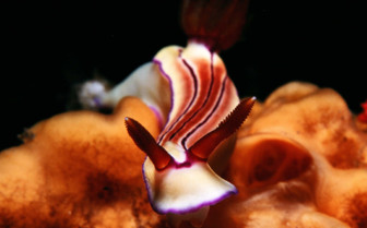 Picture of nudibrach Tubbataha reef