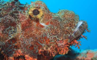 Picture of scorpion fish Tubbataha reef