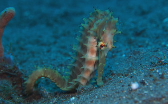 Picture of thorny seahorse Tubbataha-reef
