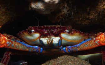 Picture of swimmer crab Palawan