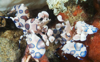 Picture of Harlequin shrimp Moalboal